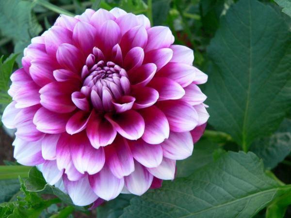 cuales-son-las-flores-de-la-primavera-dalias