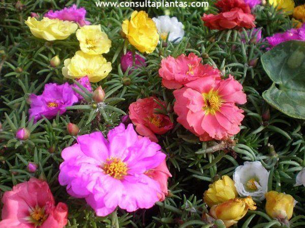 cuales-son-las-flores-de-la-primavera-verdolagas