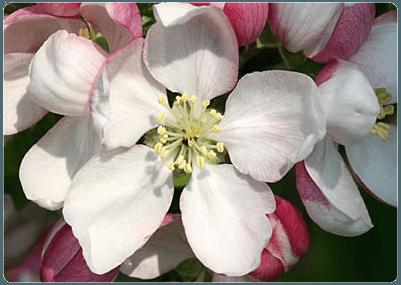 cuales-son-las-flores-de-otoño-Manzano-silvestre