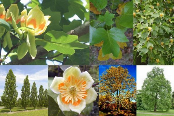 cuales-son-las-flores-de-otoño-Tulipanero