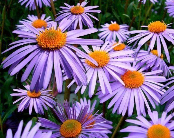 cuales-son-las-flores-de-otoño-aster