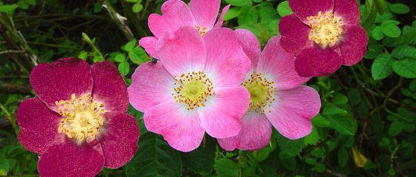 estrias-rojas-y-blancas-rosa-mosqueta