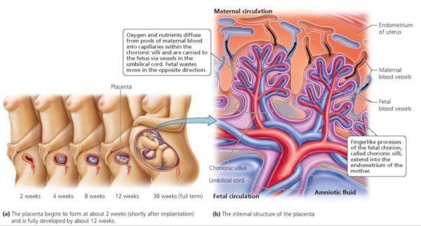 Funcionamiento de la Placenta