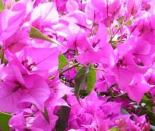 Bugambilia. Propiedades y beneficios