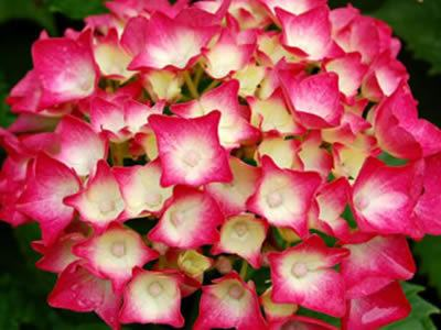 Cu les son las flores de oto o - Variedades de hortensias ...