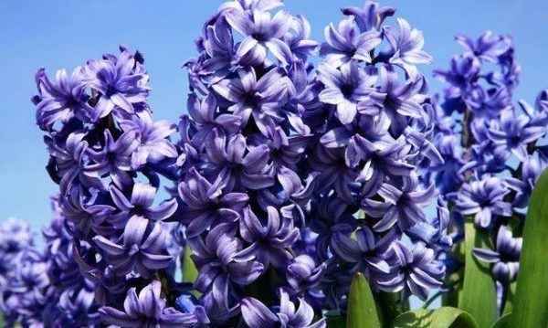 Cu les son las flores de oto o - Jacinto planta interior ...