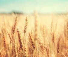 Qué es el gluten: alergia al gluten