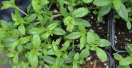 Ajedrea (Satureja montana): Propiedades y Beneficios