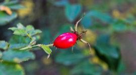 Rosa Mosqueta: origen, propiedades, beneficios y contraindicaciones