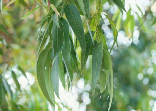 Remedios naturales para sudoracion eucalipto