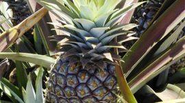 Ananás: Propiedades y beneficios de la planta