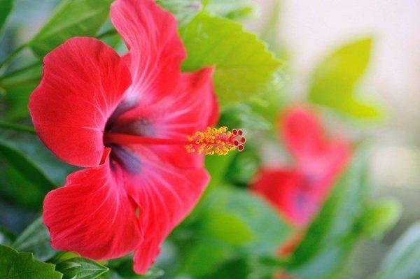 Propiedades medicinales y beneficios del hibisco nutrientes