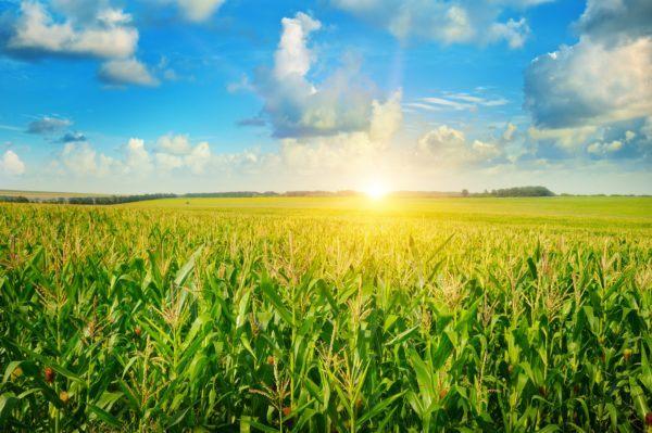 10 beneficios del maiz