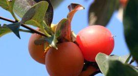 Kaki o Caqui, propiedades y beneficios de esta fruta