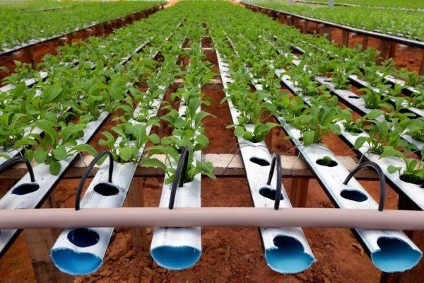 Propiedades beneficios rucula cultivo