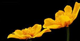 Propiedades y beneficios de la Celidonia