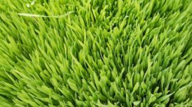 Hierba de Trigo Verde: Propiedades y Beneficios de este cereal