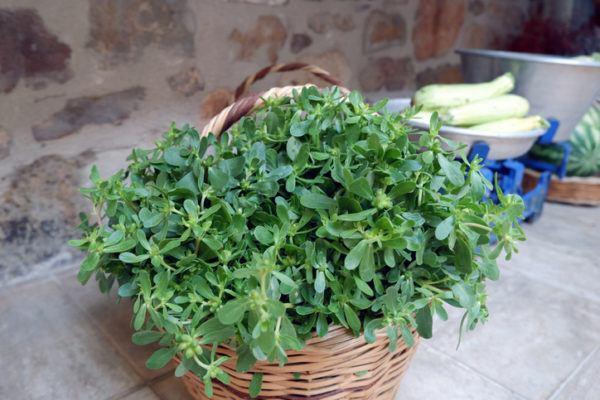 Verdolaga que es beneficios propiedades y como usarla cruda cocina