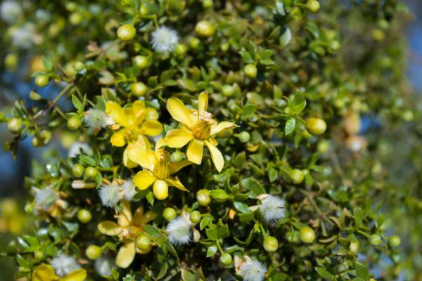 Planta gobernadora beneficios efectos secundarios usos dosis