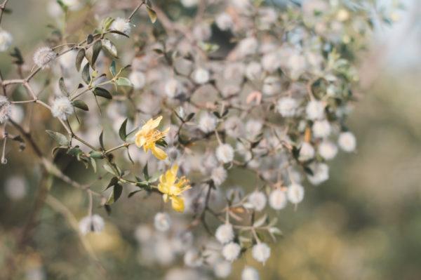 Planta gobernadora efectos secundarios usos